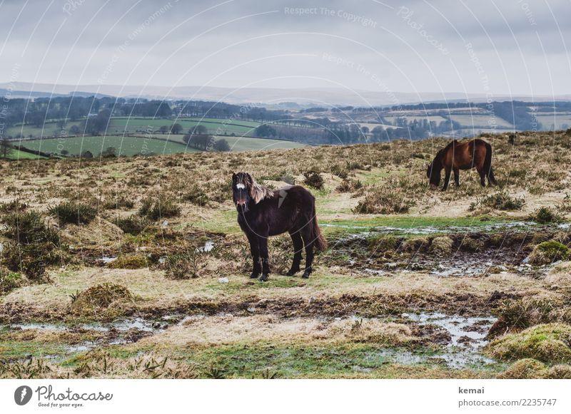 Dartmoor Pony Himmel Natur Ferien & Urlaub & Reisen schön Landschaft Erholung Tier Wolken ruhig Ferne Umwelt Freiheit braun Zusammensein Ausflug