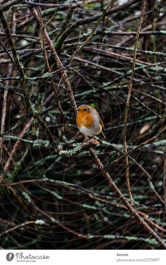 Robin Natur Pflanze Tier Winter Regen Sträucher Wildtier Vogel Rotkehlchen 1 Blick sitzen authentisch klein nass niedlich Akzeptanz Vertrauen Sympathie achtsam