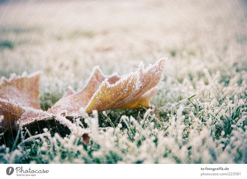 Das letzte Laub Umwelt Natur Pflanze Winter Klima Wetter Eis Frost Gras Efeu Blatt Wiese kalt braun grün weiß Raureif Eiskristall Herbstlaub Vergänglichkeit