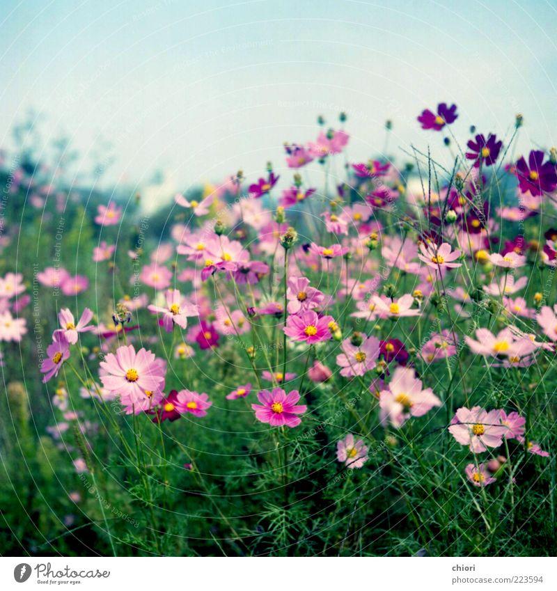 schön Leben Blüte rosa violett Blühend Blumenwiese Wiesenblume