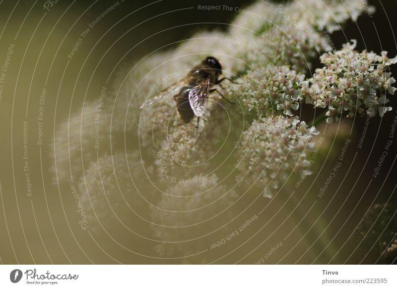 mir träumte vom Sommer... Natur Frühling Schönes Wetter Pflanze Blume Blüte Wildpflanze Biene 1 Tier Duft Farbfoto Außenaufnahme Menschenleer sitzen
