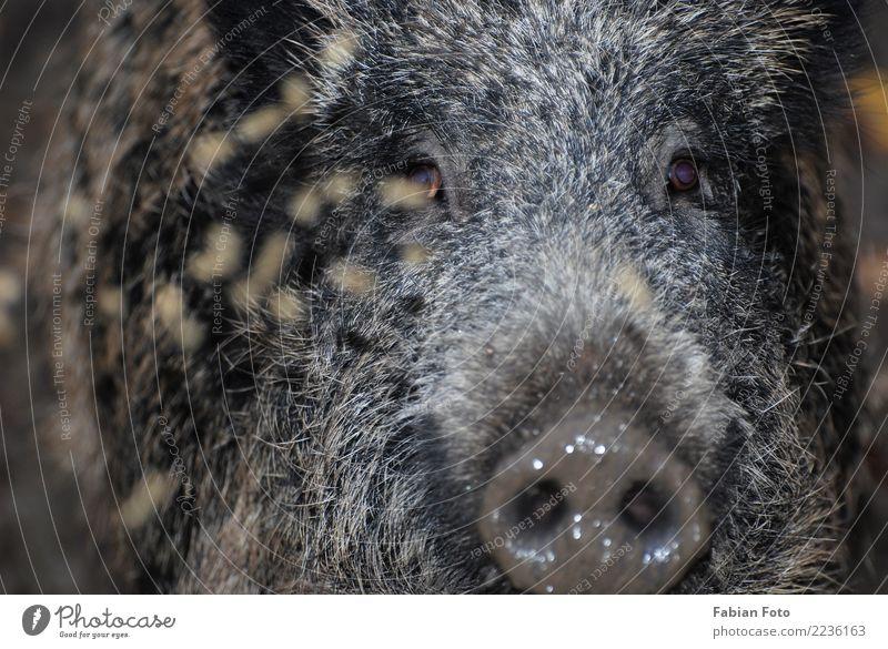 Wildschwein Natur Herbst Wald Tier Wildtier Tiergesicht Fell Zoo Schwein 1 Jagd rennen Blick Aggression bedrohlich wild Jagt Eber Farbfoto Außenaufnahme