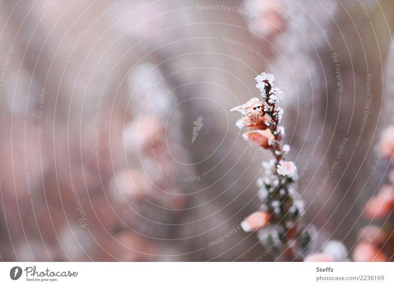 erster Frost Natur Pflanze Winter kalt Blüte Garten grau orange Wetter Eis Blühend Klima gefroren frieren Dezember
