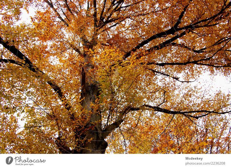 Der goldene Herbst Umwelt Natur Landschaft Pflanze Himmel Wolken schlechtes Wetter Regen Baum Blatt Wildpflanze Wald authentisch frisch schön kalt nass