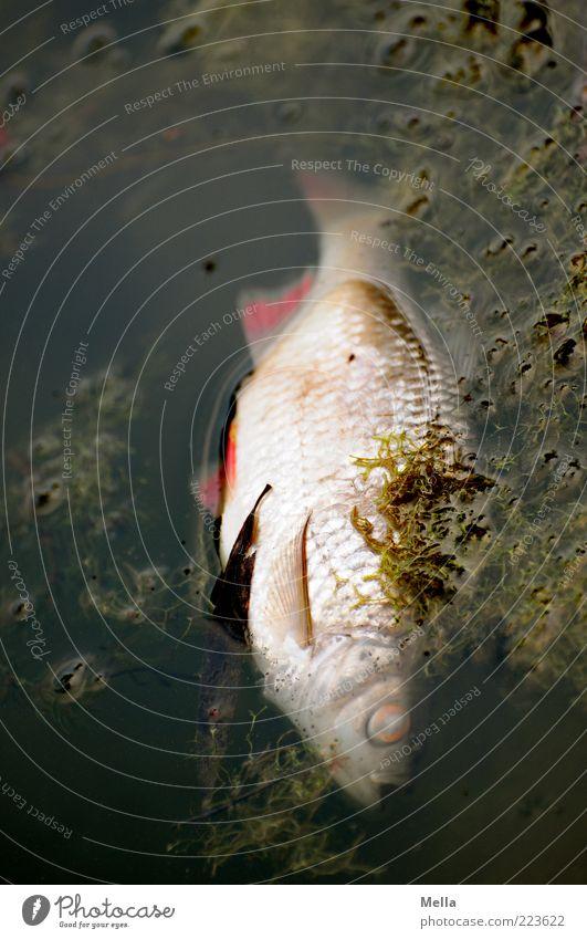 Montagmorgen Natur Wasser Tier Umwelt dunkel Auge Tod See Zeit liegen natürlich dreckig Fisch trist Fisch Vergänglichkeit