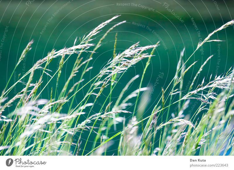 Grünzeug Pflanze Luft Wasser Sommer Gras Sträucher Flussufer warten dünn grün Wind wehen wackeln türkis Natur zart sanft Unschärfe Farbfoto mehrfarbig