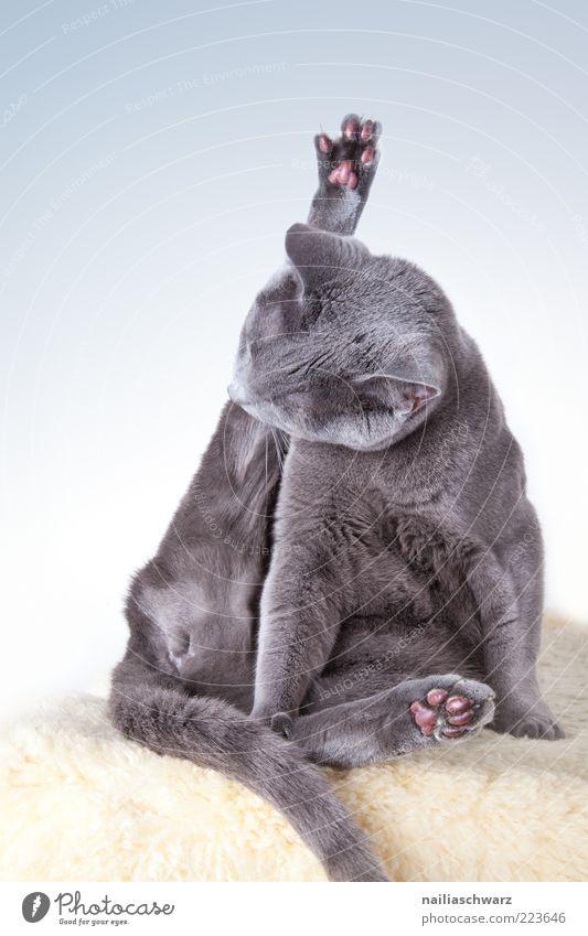 Katzenwäsche Tier Haustier russisch blau kurzhaarig 1 Reinigen sitzen ästhetisch Sauberkeit gelb grau silber Zufriedenheit Körperpflege schön Reinlichkeit