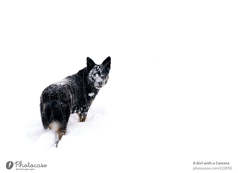 Snow Dog II Hund Natur weiß Winter Tier schwarz Umwelt Wiese kalt Schnee Spielen Glück außergewöhnlich Fröhlichkeit Fell Idylle