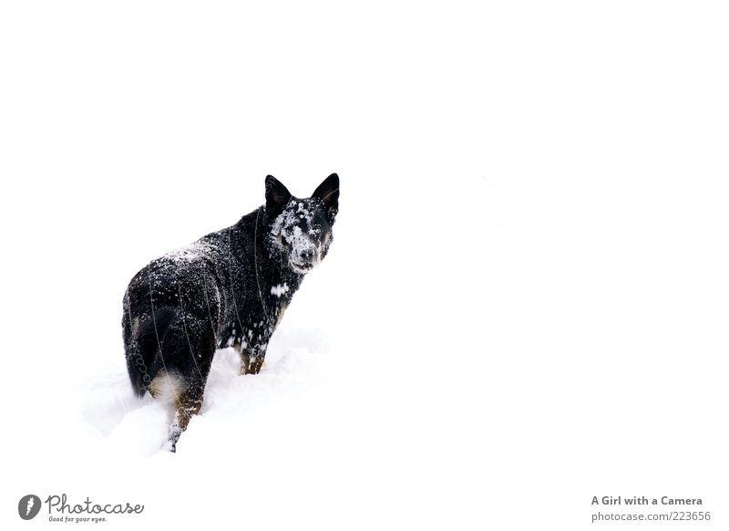 Snow Dog II Umwelt Natur Winter Schnee Wiese Tier Haustier Hund 1 Blick Spielen außergewöhnlich Freundlichkeit Fröhlichkeit Glück kalt schwarz weiß Identität