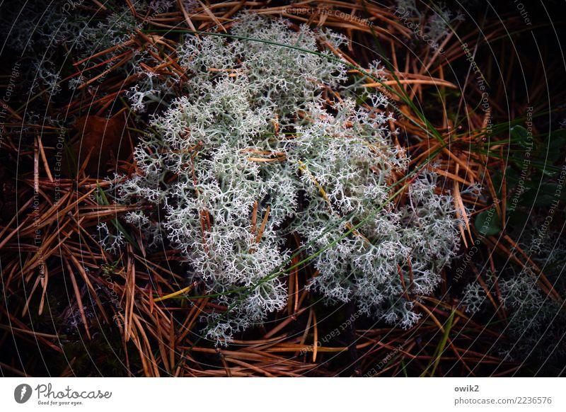 Weichkoralle Umwelt Natur Pflanze Urelemente Flechten Tannennadel Waldboden Wachstum authentisch Zusammensein Spitze unten ruhig Leben Idylle Ordnung netzartig