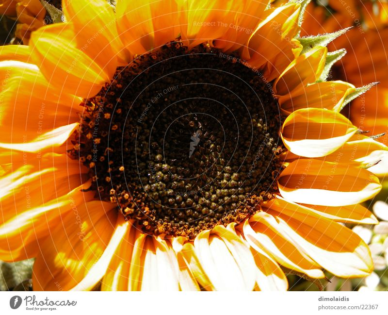 sonnenblume Blume Blatt gelb Blüte Sonnenblume