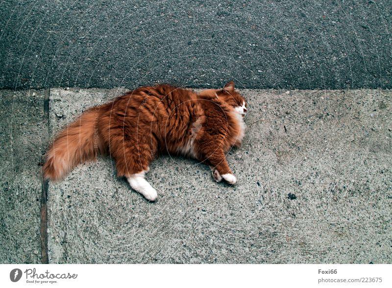Am Pflaster horchen blau weiß schön Sommer Tier Straße Spielen Umwelt Katze grau Linie lustig gold Beton Platz liegen