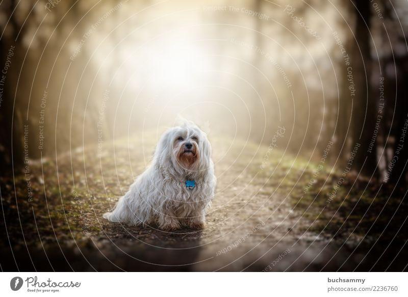 Sonnenhund Natur Tier Wege & Pfade Fell langhaarig Haustier Hund 1 klein weiß Bichon Bichon-Havanais Bichon-frise Havaneser Malteser Säugetier Wuschel