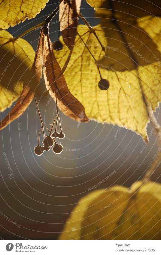 Damals im Herbst... Natur schön Pflanze Blatt ruhig gelb grau träumen braun klein Wachstum natürlich authentisch einzigartig Vergänglichkeit