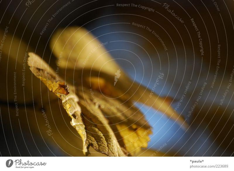 Erinnerst du dich? Umwelt Natur Sonnenlicht Herbst Schönes Wetter Pflanze Lindenblatt beobachten genießen träumen klein natürlich schön blau braun gelb ruhig