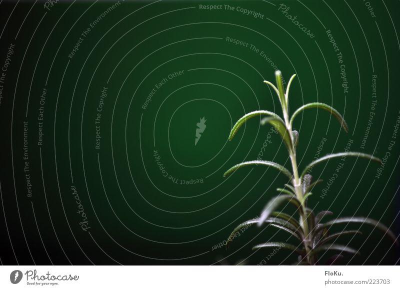 Rosmarin Lebensmittel Kräuter & Gewürze Ernährung Bioprodukte Pflanze Blatt Gesundheit grün Zutaten Farbfoto Innenaufnahme Textfreiraum links Kunstlicht