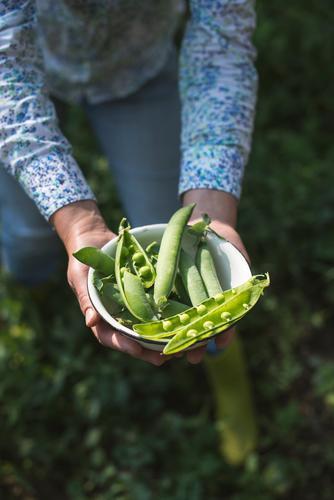 Erbsenpflanzen ernten Gemüse Vegetarische Ernährung Sommer Sonne Garten Gartenarbeit Frau Erwachsene Hand Natur Pflanze Blatt Wachstum frisch grün Lebensmittel