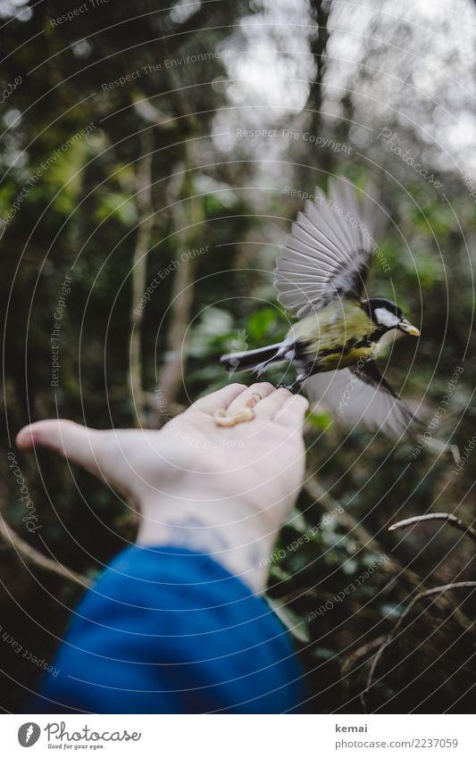 Gespreizte Flügel Lifestyle Leben Freizeit & Hobby Spielen Abenteuer Mensch Hand Handfläche 1 Umwelt Natur Tier Sträucher Park Wildtier Vogel Kohlmeise fliegen