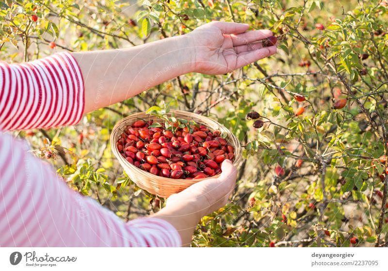 Hagebutte pflücken Frucht Kräuter & Gewürze Medikament Frau Erwachsene Hand Natur Pflanze Herbst Sträucher Blatt Hund natürlich wild rot Roséwein