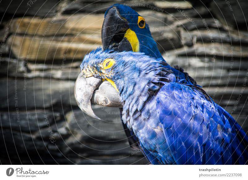 Kopfkraulen II Tier Liebe Vogel Tierpaar Wildtier Flügel Tiergesicht krabbeln Ara