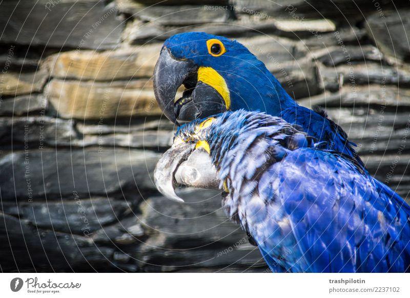 Kopfkraulen Tier Wildtier Vogel Tiergesicht Flügel Hyazinthara Ara 2 Tierpaar krabbeln Reinigen Farbfoto Tag Tierporträt