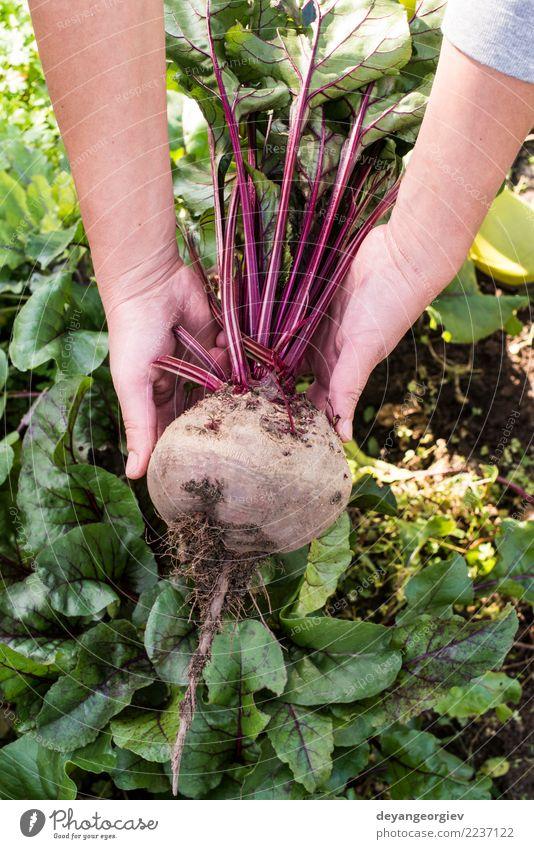 Rote Beete pflücken Gemüse Vegetarische Ernährung Garten Gartenarbeit Natur Pflanze Erde Blatt Wachstum frisch natürlich grün rot Lebensmittel Wurzel organisch