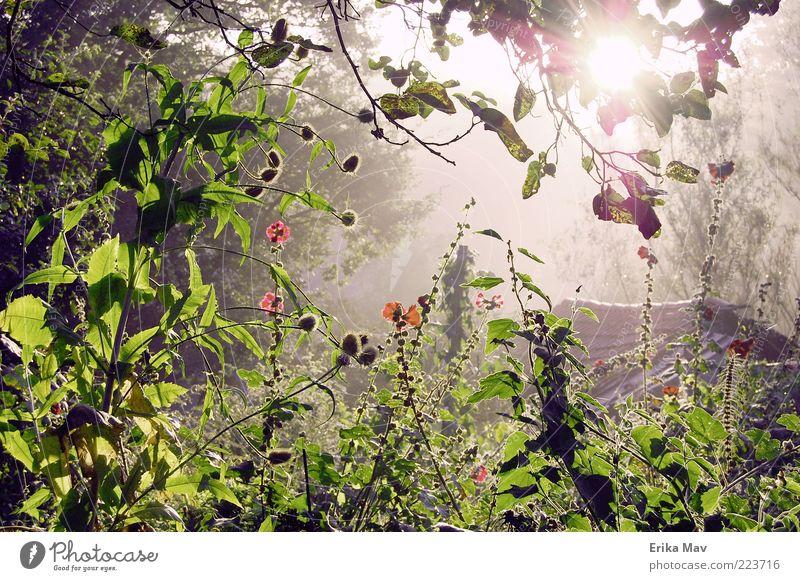 licht am ende des dschungels Natur Landschaft Pflanze Sommer Blatt Blüte Stockrose Garten Wald frisch Stimmung Geborgenheit schön ruhig Hoffnung Einsamkeit