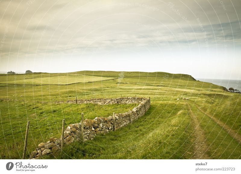 ab ins Grüne Landschaft Gras Wiese Feld Hügel Küste Mauer Wand Schaf 3 Tier Einsamkeit Ferien & Urlaub & Reisen Ferne Schottland Weide Weidezaun Fußweg grün