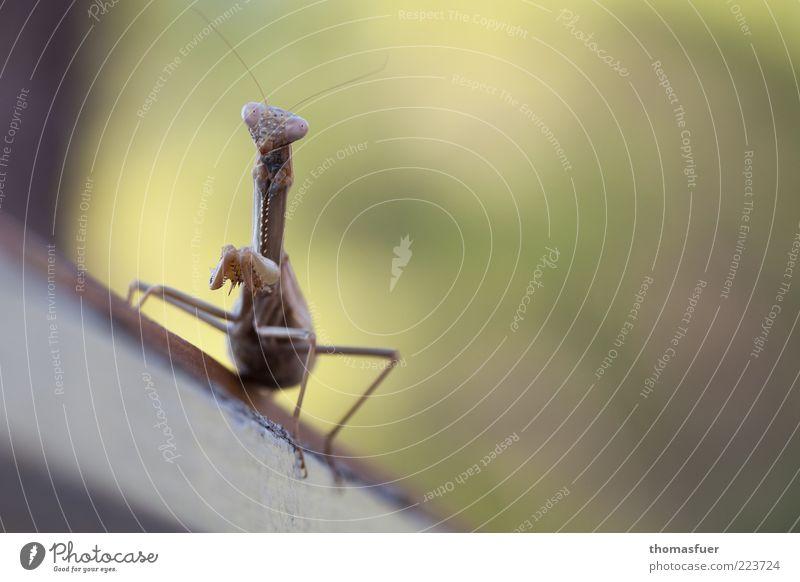 """wir nannten sie """"Frau Hunziker"""" Natur Pflanze Tier Beine warten sitzen Tiergesicht nah Wildtier dünn Neugier Insekt beobachten Freundlichkeit Ekel exotisch"""