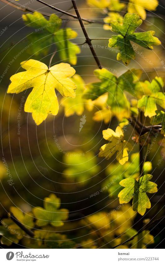 Blattgold Natur grün schön Pflanze gelb Herbst Umwelt hell Wachstum leuchten Schönes Wetter Grünpflanze Zweige u. Äste herbstlich Wildpflanze