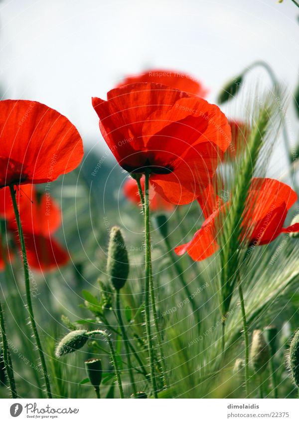 der rote mohn Blume rot Blatt Blüte Gras Blühend Alkoholisiert Mohn Rauschmittel Samen Klatschmohn