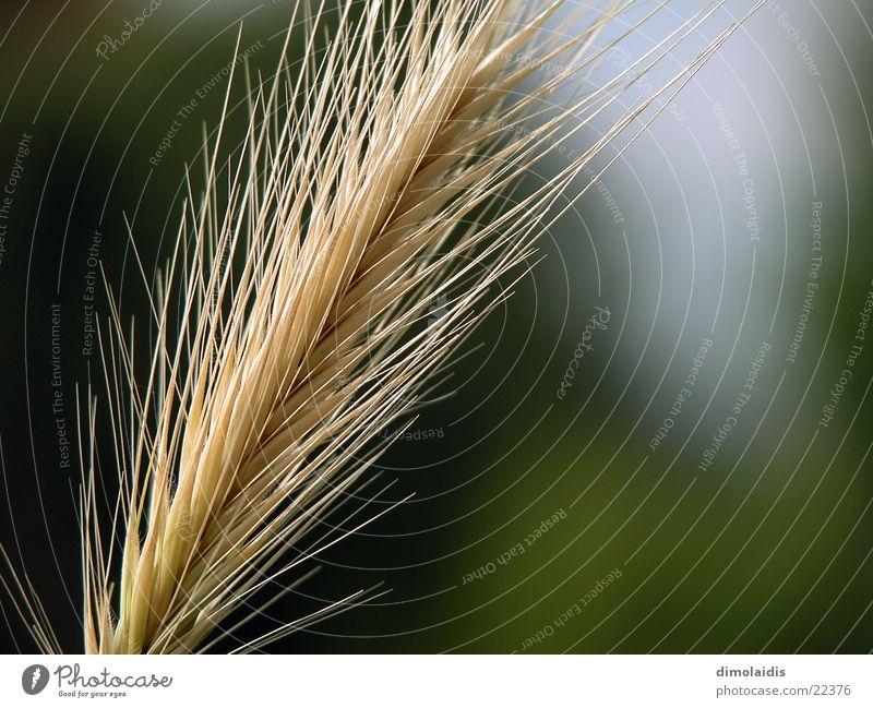 fasergras Sommer Gras Linie Getreide Samen Weizen Gerste Hafer