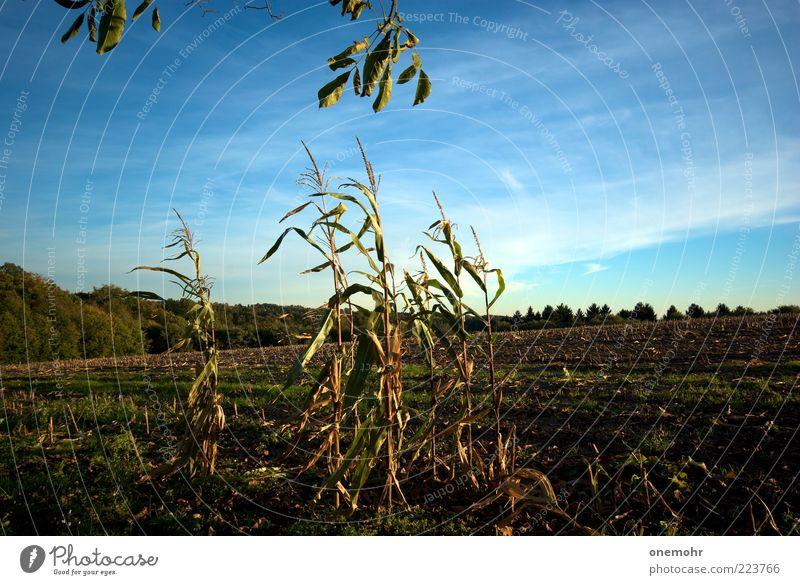 Mais Natur blau grün Sommer Pflanze Landschaft Ferne Herbst braun Feld Wachstum Ernährung Vergänglichkeit Ende Getreide Lebensfreude