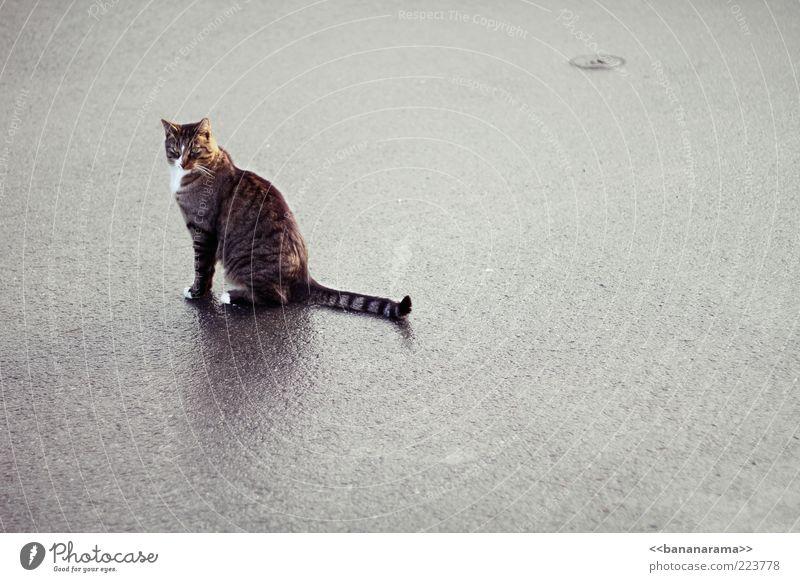 Louis XIV Einsamkeit Tier Straße Katze Regen warten elegant nass sitzen Bodenbelag Asphalt Sauberkeit Fell feucht Pfote Haustier