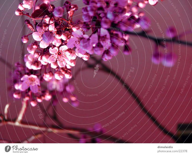 japanischer frühling erwacht Kirschblüten rosa Baum Kirsche Blatt Frühling Ast Zweig Blühend