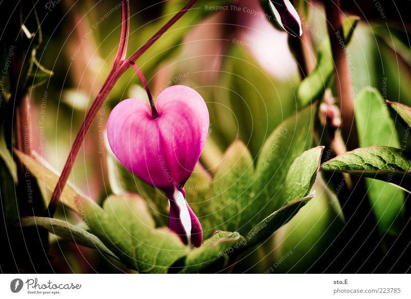 herzhaft Natur Pflanze Frühling Sommer Blume Blüte exotisch Herz Kitsch schön rosa Frühlingsgefühle Verliebtheit Romantik Gefühle Leben Tränendes Herz Farbfoto