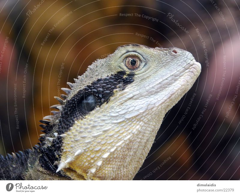 exe Auge Tier Scheune Stachel Echsen Dinosaurier Echte Eidechsen Salamander