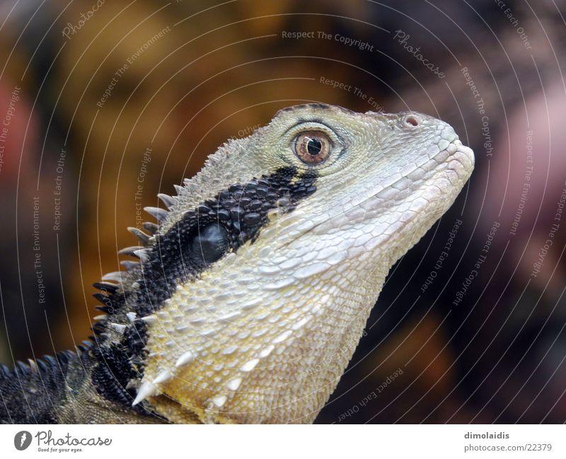 exe Echsen Tier Dinosaurier Echte Eidechsen Salamander Auge Scheune Stachel