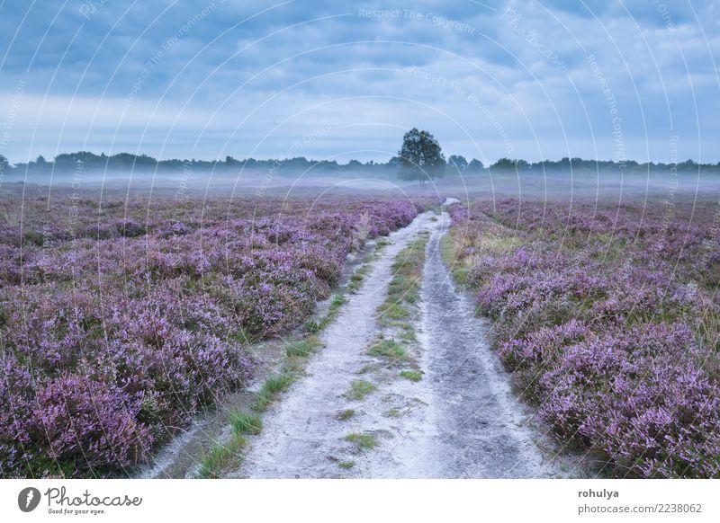 Straße zwischen rosa blühenden Wiesen mit Heidekraut Sommer Natur Landschaft Pflanze Himmel Sonnenaufgang Sonnenuntergang Nebel Baum Blume Blüte Wege & Pfade