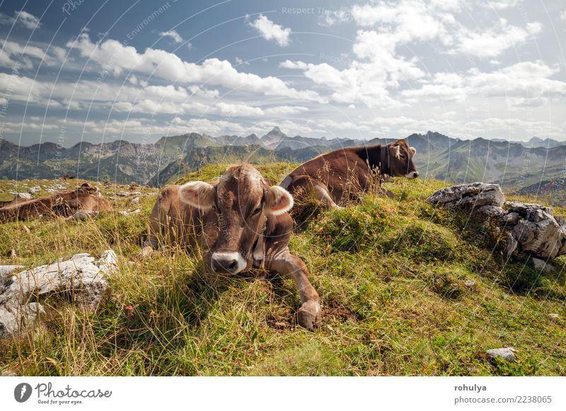 Kühe, die auf Alpenwiese während des sonnigen Tages sich entspannen Erholung Sommer Berge u. Gebirge Natur Landschaft Tier Himmel Wolken Schönes Wetter Gras