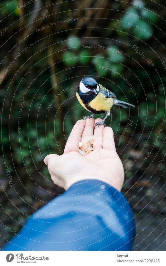 Es ist angerichtet. Lebensmittel Nuss Snack Spielen Abenteuer Mensch Hand Handfläche 1 Umwelt Natur Tier Park Wildtier Vogel Kohlmeise füttern sitzen