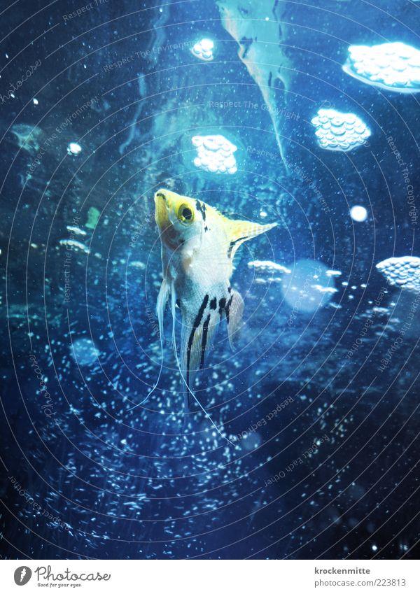 Babel Fish Tier Fisch Aquarium 1 tauchen blau gelb Wasser Wasseroberfläche Blase Flosse Kieme Auge Zierfische Luftblase Skalar Kreis Punkt Einsamkeit Haustier