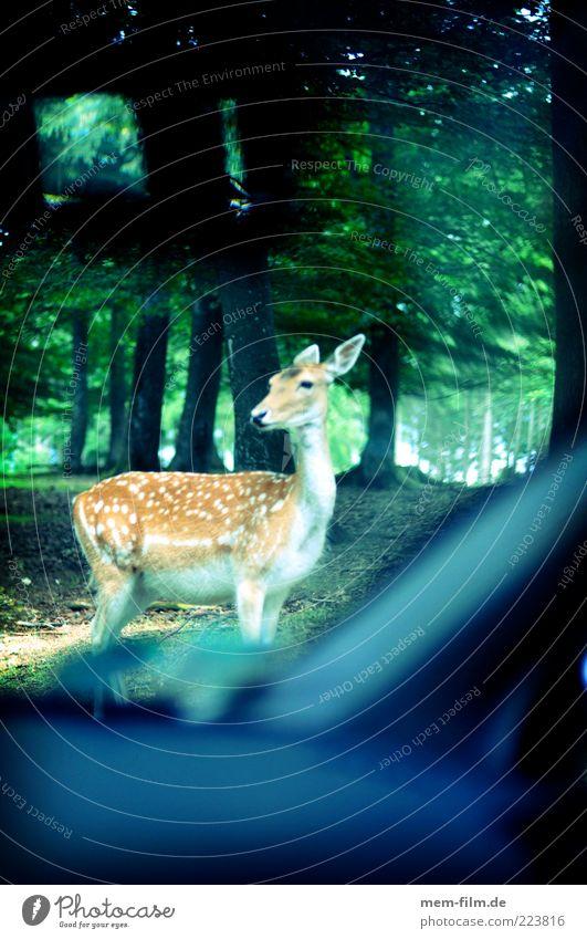 Wildwechsel Tier Wald PKW Verkehr gefährlich KFZ Wildtier Autofenster Neugier einzeln zurück Schüchternheit Vorsicht Straßenverkehr Reh Straßenrand