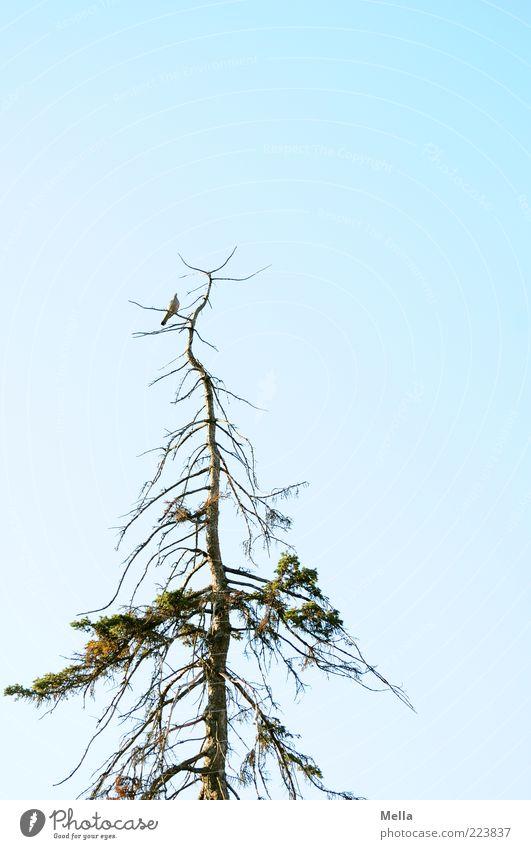 Hoffnungsträger Umwelt Natur Baum Nadelbaum Lärche Baumkrone Ast Tier Vogel Taube 1 sitzen kaputt trist blau Ende Endzeitstimmung Tod Umweltverschmutzung