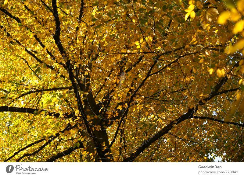 Herbst, wir missen dich! Natur alt Baum Pflanze Gefühle Umwelt Stimmung Wetter gold groß Unendlichkeit fest Baumkrone Schönes Wetter Zweige u. Äste