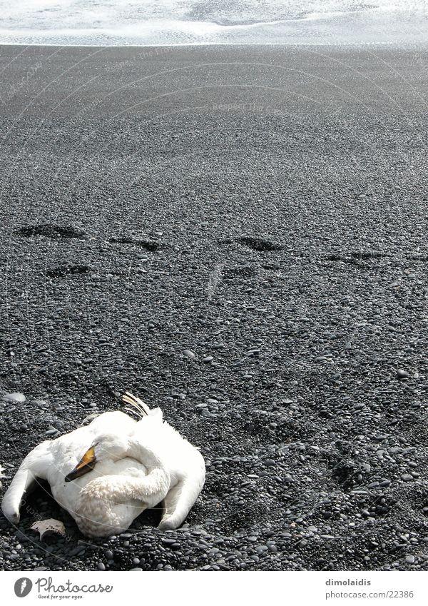 schwanensee Meer Strand Tod grau Traurigkeit Sand Horizont Feder Spuren schreiten Schwan