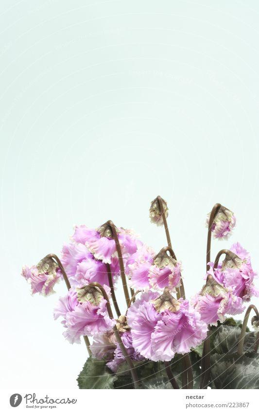 cyclamen – das Alpenveilchen grün schön Pflanze Blume Blatt Blüte Glück hell elegant rosa frisch Fröhlichkeit Kitsch Sauberkeit niedlich Blühend