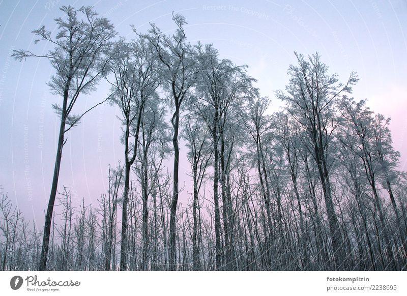 winter bäume Natur blau Baum Winter Wald kalt Schnee rosa stehen Klima Wolkenloser Himmel Baumkrone frieren Raureif