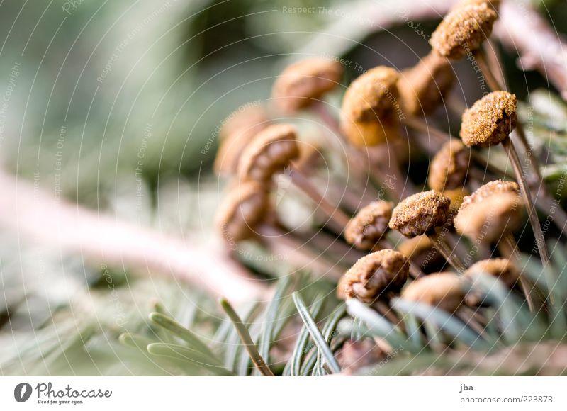 kälteresistent Natur alt Pflanze Blume Umwelt braun klein mehrere trist authentisch nah Vergänglichkeit trocken vertrocknet verblüht Makroaufnahme