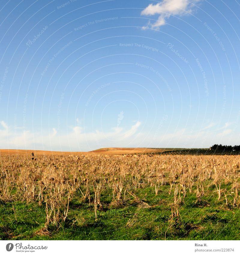 Schäfer im Artischockenfeld Landschaft Himmel Horizont Sonnenlicht Herbst Feld authentisch blau gelb grün Gefühle ruhig trocken Dürre Farbfoto Außenaufnahme